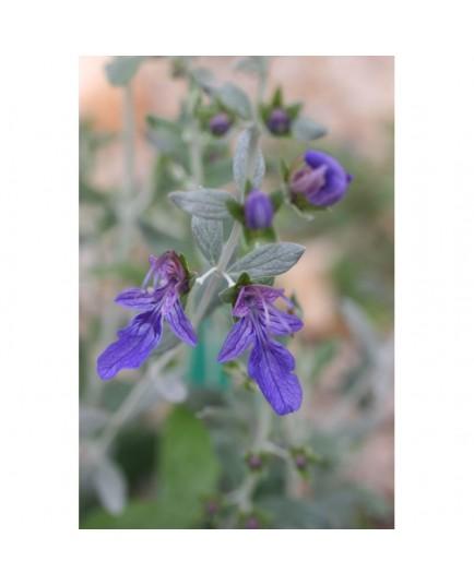 Teucrium fruticans 'Azureum' - Germandrée arbustive