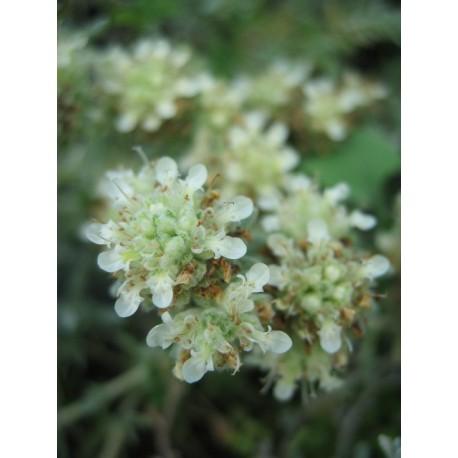 Teucrium polium - Germandrée tomenteuse
