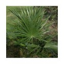 Trachycarpus fortunei - palmiers de Chine, palmiers chanvre,