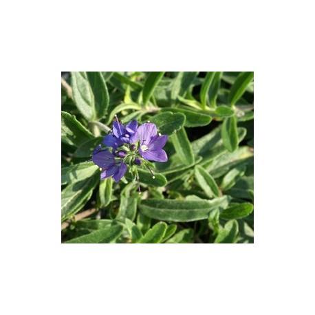 Veronica prostrata subsp scheereri - véroniques