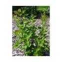 Viburnum carlesii 'Diana' - viorne