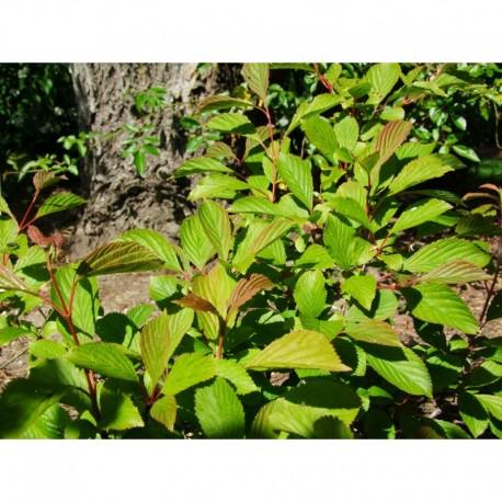 Viburnum farreri - Viorne de Farrer