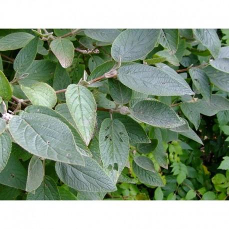 Viburnum lantana 'Mohican' - viorne lantane
