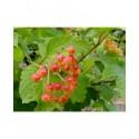 Viburnum opulus 'Sylvie' - Viorne obier