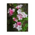 Weigela 'Abel Carriere' - weigelia