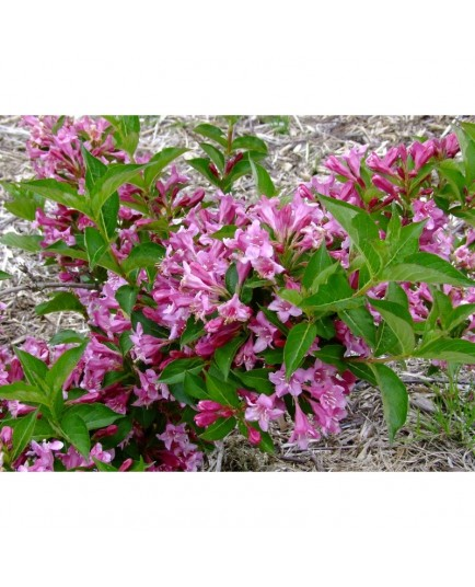 Weigela 'Booskop Glory' - weigelia