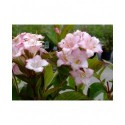 Weigela 'Carnaval'® ( Courtalor)- weigelia