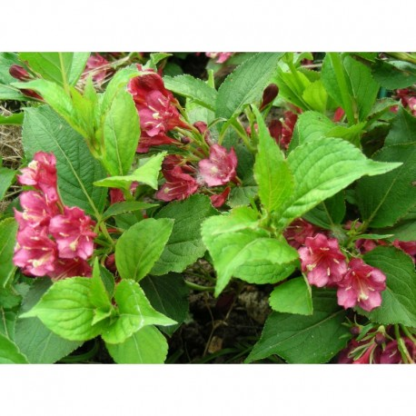 Weigela 'Emile Gallé' - weigelia