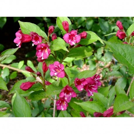 Weigela 'Fiesta' - weigelia