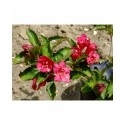 Weigela 'Lucifer' -Weigelia