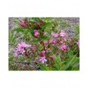 Weigela 'Majestueux' - weigelia