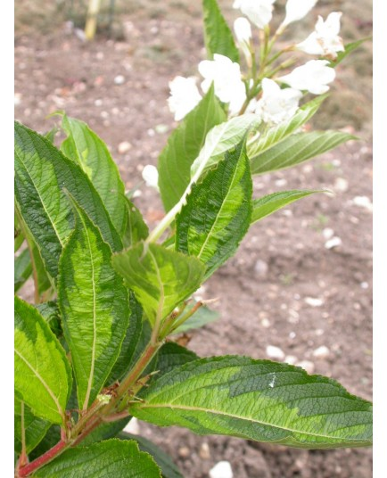 Weigela 'Milk & Honey'®' - weigelia