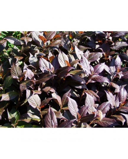Weigela 'Minor Black'® - weigelia pourpre