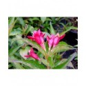 Weigela 'Nain Rouge'® (Courtanin) - weigelia