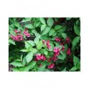 Weigela 'Newport Red' - weigelia