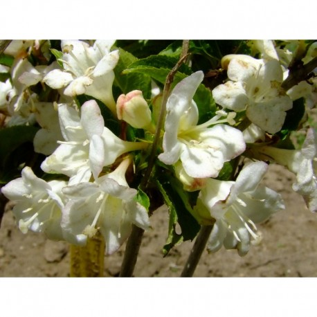 Weigela 'Snowflake' - weigelia