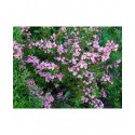 Weigela 'Styriaca' - weigelia