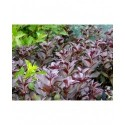Weigela florida 'Alexandra'® (Wines & roses) - weigelia pourpre