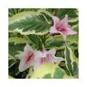 Weigela florida  'Variegata' - weigelia panaché