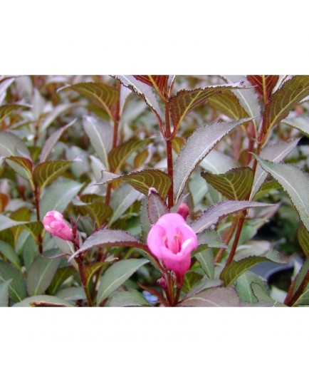 Weigela florida 'Victoria' - weigelia
