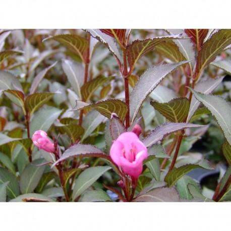 Weigela florida 'Victoria' - weigelia