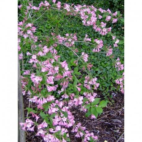 Weigela praecox 'Fleur de mai', weigelia