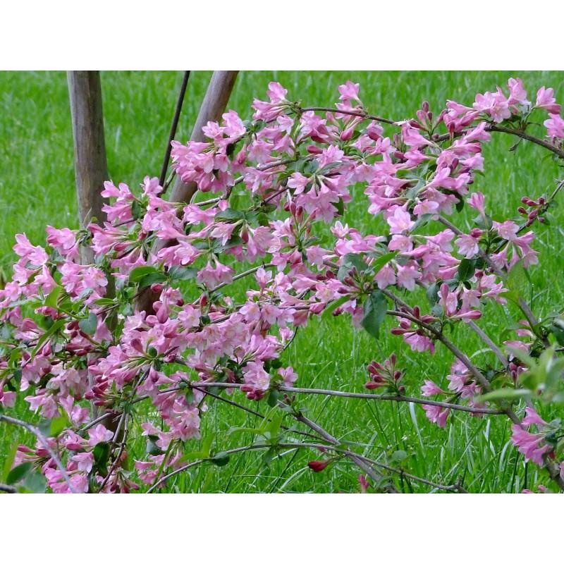 Weigela Praecox Fleur De Mai