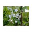 Wisteria brachybotrys 'White Silk' - glycine