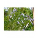 Wisteria floribunda 'Eranthema' - glycine du Japon