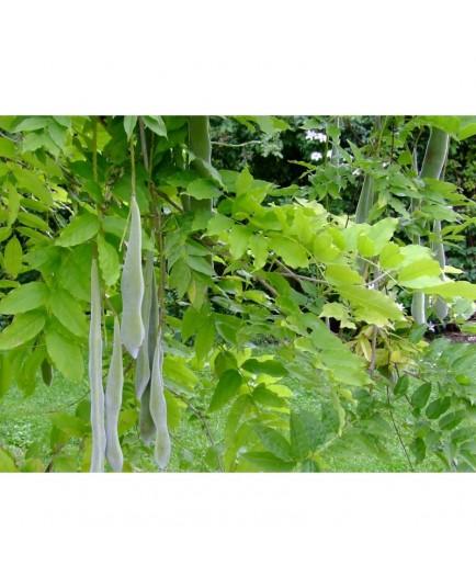 Wisteria sinensis 'Prolific' - glycines de Chine