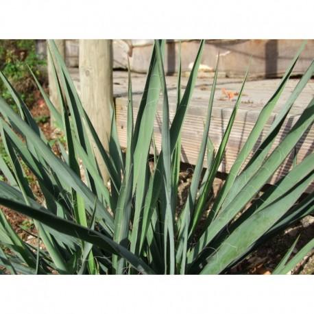 Yucca filamentosa -Yucca, Palm lily