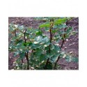 Zanthoxylum americanum - clavalier d'Amérique