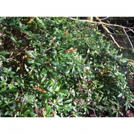 Berberis julianae - berberis, épine-vinettes