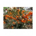 Berberis linearifolia 'Orange King' - Epine Vinette
