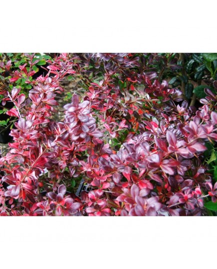 Berberis media x 'Parkjuweel' - berberis, Epine vinette