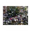 Berberis media x 'Red Jewel' - Epine Vinette