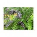 Berberis ottawensis x 'Auricoma' - Epine Vinette pourpre