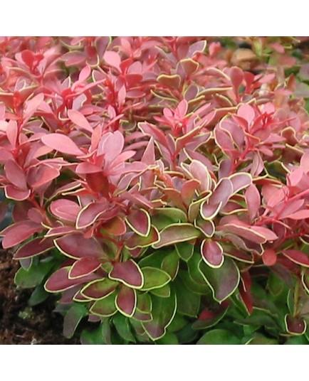 Berberis thunbergii 'Admiration'® - berberis, épine-vinettes, vinetiers,épines vinettes,