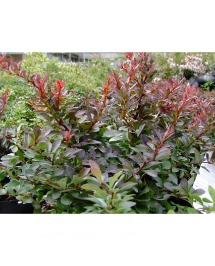 Berberis thunbergii 'Atropurpurea Nana' - Epine Vinette pourpre naine