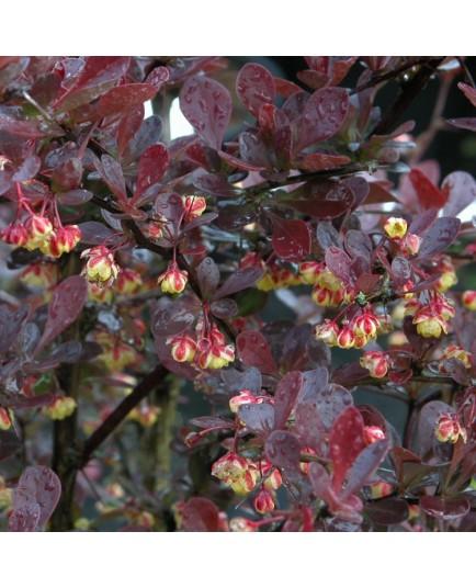 Berberis thunbergii 'Atropurpurea' - épines vinettes,berberis, épine-vinettes, vinetiers,