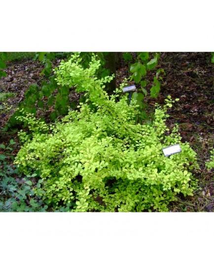 Berberis thunbergii 'Aurea Beauty' - Epine Vinette, berberis doré