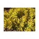 Berberis thunbergii 'Bonanza Gold' - berberis, épine-vinettes, vinetiers,épines vinettes,