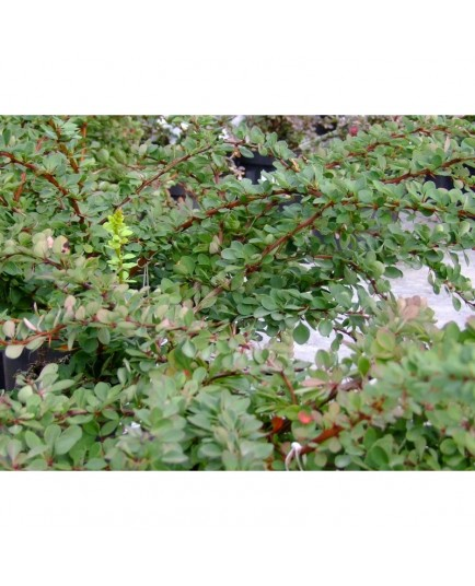 Berberis thunbergii 'Green Carpet' - Berberis rampant