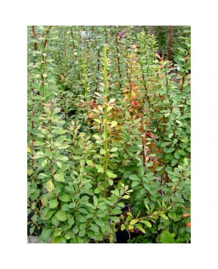Berberis thunbergii 'Pow wow' - berberis, épine vinette