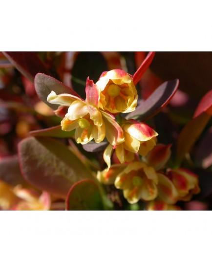 Berberis thunbergii 'Red Rocket' - Epine Vinette