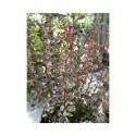 Berberis thunbergii 'Rosy Rocket' - Epine vinette