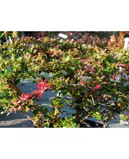 Berberis verruculosa - Epine Vinette