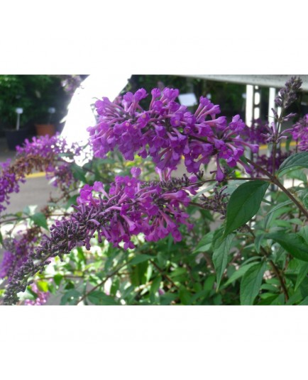 Buddleja 'Argus Velvet' ®- arbuste aux papillons