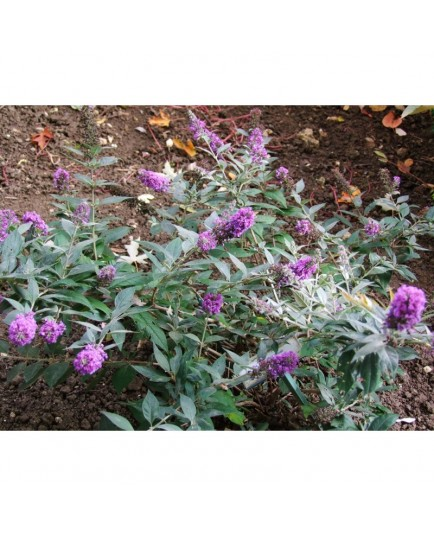 Buddleja 'Blue Chip '
