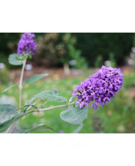 Buddleja 'Blue Heaven'® - arbuste aux papillons